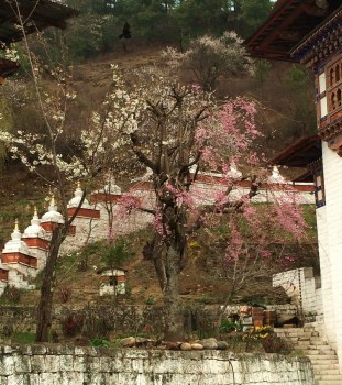 View of small chortens with spring blossoms at Kurjey Lhakhang.